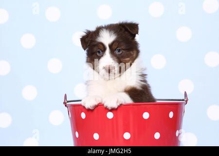 Pastor Australiano. Puppy (6 semanas) sentado en un balde rojo con lunares blancos. Studio picture contra un fondo azul con lunares blancos. Alemania