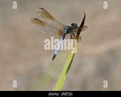 Libélula azul con alas iridiscentes en planta de tallo verde