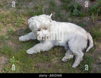 Perro westie se encuentra en la planta closeup. West Highland White Terrier, conocido comúnmente como el Westie, una raza de perro de Escocia.