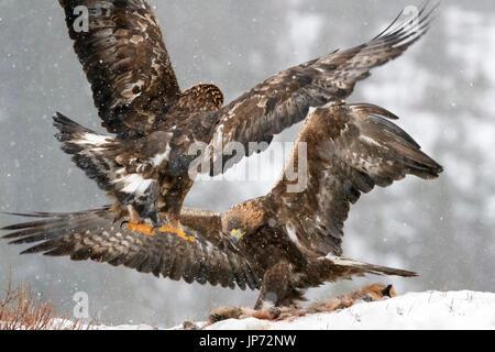 Águila real (Aquila chrysaetos) combates durante las nevadas, Noruega