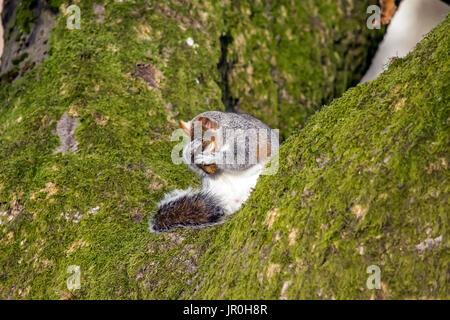 La ardilla sentada sobre un árbol lavarse la cara y bigotes