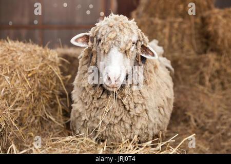 Funny ovejas. retrato de una oveja con pelo cubierto en el fondo de la naturaleza