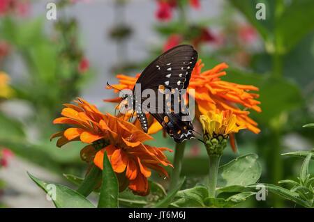 Alimentación especie Spicebush sobre naranja Zinnia. Se encuentra Spicebush en patios, jardines y bordes de bosques Foto de stock
