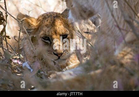Retrato de un bebé león tomada en una canaleta de Bush