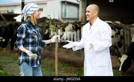 Par de veterinarios que trabajan con vacas en cowhouse lechoso al aire libre