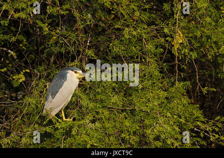 Coronado negro noche heron sentado