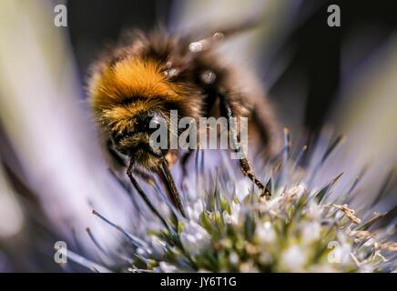 Un cierre de obtención de Miel de Abeja polen de Eryngium cabeza floral, Shepperton, Surrey, Inglaterra, Reino Unido.