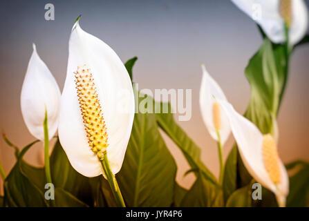 Hermosas flores blancas y hojas verdes flor tropical Spathiphyllum sobre un fondo claro.