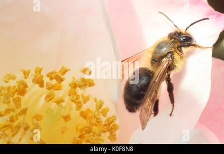 La abeja europea (Apis mellifera) en el centro de una flor de camelia en un jardín inglés a mediados de la primavera.