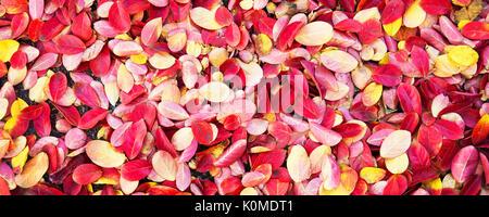 Coloridas hojas otoñales en el suelo de fondo panorámico, antecedentes, concepto de otoño