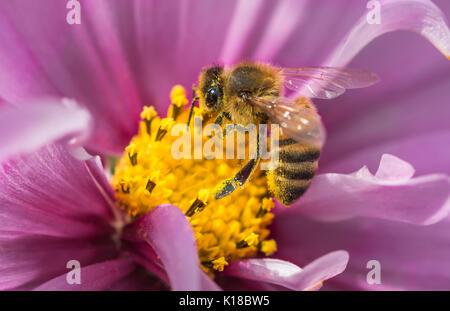 Macro de miel de abeja europea (Apis mellifera) en un Cosmos bipinnatus (México) flor aster recogidas néctar / polinizando, en West Sussex, Inglaterra, Reino Unido.