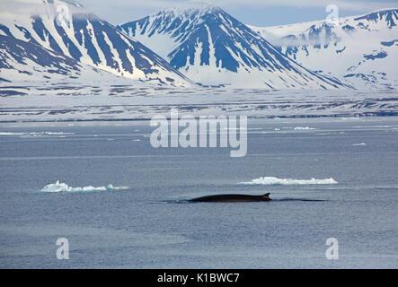 Ballena de Aleta, Balaenoptera physalus, solo adulto nadar contra la gota de montañas cubiertas de nieve. Tomadas en junio, Spitsbergen, Svalbard, Noruega