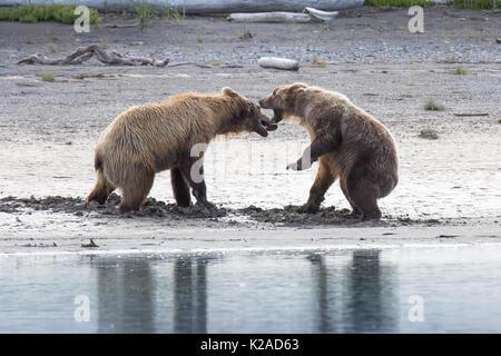 Osos pardos costeros combates Katmai, Alaska