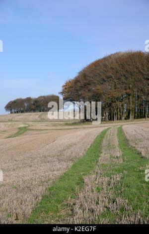 Cúmulos de hayedo (Fagus sylvatica) y cosechadas en el campo arable Ridgeway antigua pista y ruta de larga distancia, Marlborough Downs, Wiltshire, Reino Unido, Noviembre de 2013.