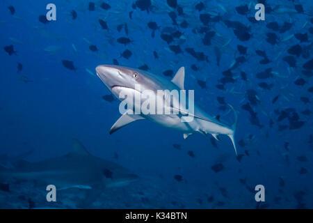 Tiburón gris de arrecife (Carcharhinus amblyrhynchos) en primer plano con el tiburón toro en fondo azul oscuro abajo. Beqa Lagoon, Fiji.