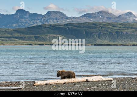 Un oso pardo adulto jabalí camina pasado un registro driftwood a lo largo de la ensenada Cook, en el estado de Río de McNeil juego santuario en la Península Kenai, Alaska. El sitio remoto se accede sólo con un permiso especial, y es el más grande del mundo estacional de la población de osos pardos en su entorno natural.