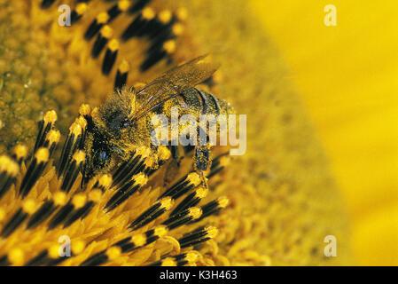 Abeja de miel, Apis mellifera, Adulto en el girasol, el polen sobre su cuerpo, close-up