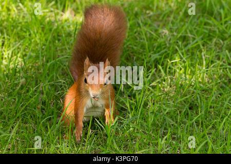 Ardilla roja Sciurus vulgaris especies nativas en Gran Bretaña e Irlanda con rojo naranja grande de pieles rojas de cola tupida. Tiene una tuerca en su boca en un banco de hierba.