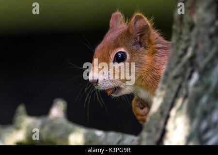 Ardilla roja británica Sciurus vulgaris especies nativas en Gran Bretaña e Irlanda con pelaje rojo anaranjado. Gran tupida cola roja más pálidos. Tiene una tuerca en la boca.
