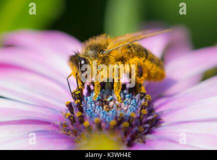Abeja de miel europea (Apis mellifera) en Osteospermum ecklonis (margarita africana) polinizando la flor en Sussex, Reino Unido. Macro polinizante de abejas. Abejas de miel.