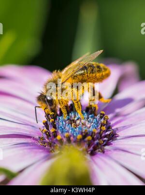 Apis mellifera (abeja de miel europea Osteospermum ecklonis) recogiendo el néctar de las flores / polinizando en West Sussex, Reino Unido. La polinización de las abejas. Las abejas de miel.