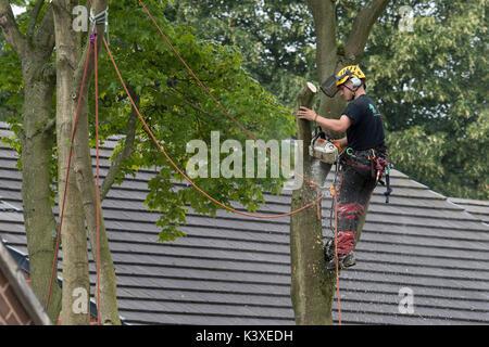 Tree Surgeon trabajan en equipos de protección, con cuerdas de escalada para seguridad & holding motosierra, alta en las ramas del árbol del jardín - Yorkshire, Inglaterra, Reino Unido.