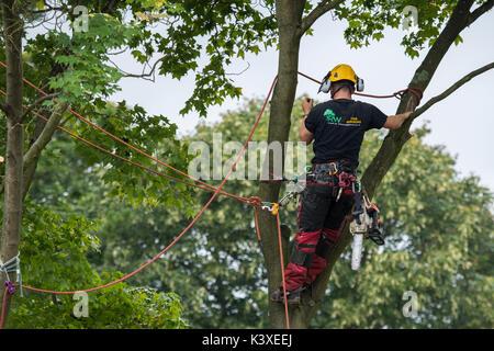 Tree Surgeon trabajan en equipos de protección, con cuerdas de escalada para seguridad y con motosierra, es alta en las ramas del árbol del jardín - Yorkshire, Inglaterra, Reino Unido.
