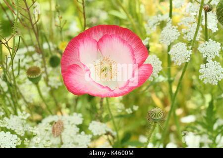 True Shirley adormidera (Papaver rhoeas) que florece en una pradera pictórico inglés junto con el Obispo de la Flor (Ammi Majus en verano (julio), REINO UNIDO