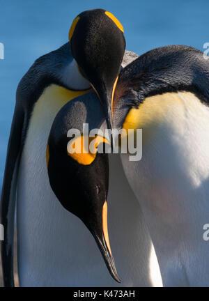 Pingüino Rey (Aptenodytes patagonicus) de Tierra del Fuego, Chile