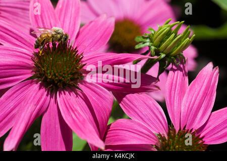 Cubiertas de polen de abejas (Apis mellifera) forrajeando para el néctar de equinácea, Rosa coneflower en verano, Montreal, Quebec, Canadá