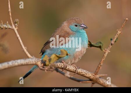 Azul (waxbill uraeginthus angolensis), el parque nacional Kruger, Sudáfrica, África