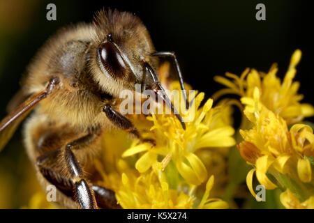 Abeja de miel europea sobre la flor