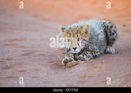 cachorro de Cheetah Foto de stock