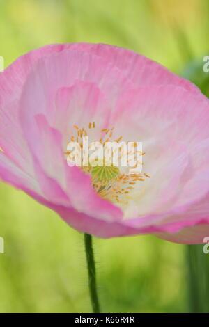 True Shirley adormidera (Papaver rhoeas), mostrando el Silken pétalos y colores pastel en una pradera wildflower cultivadas a la altura de un Inglés de verano