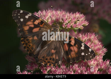 American Painted Beauty butterfly nectaring sedum flores Foto de stock
