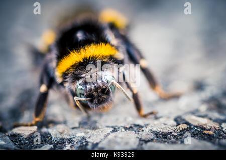 Macro closeup de una abeja en una reserva natural