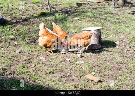 Las gallinas se alimentan en la tradicional rural de corral en día soleado. Cerca de pollo parado en el granero del gallinero. free range avicultura