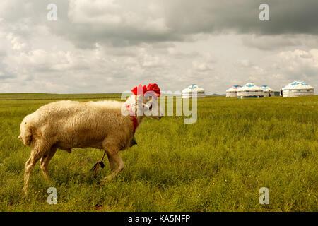 Fancy ovejas en praderas de Mongolia