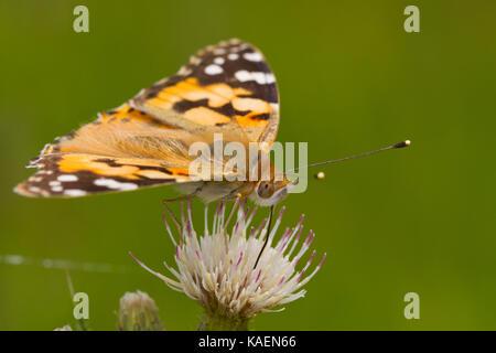 Painted Lady (Vanessa cardui) mariposa adulta alimentándose de una flor de cardo. Powys, Gales. De junio. Foto de stock