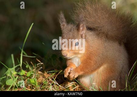 Ardilla roja (Sciurus vulgaris) en el bosque, Highlands, Scotland, Reino Unido