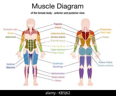 Gráfico muscular - cuerpo femenino, vista frontal y posterior del ...