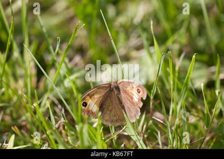 Mariposa marrón pradera sentada en la hierba. Nombre científico: Maniola jurtina.