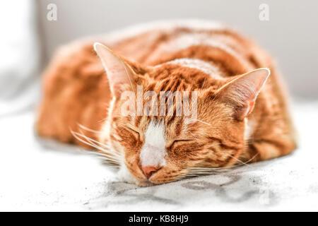 Un joven gato durmiendo en un sofá en casa, dulce y hermosa.