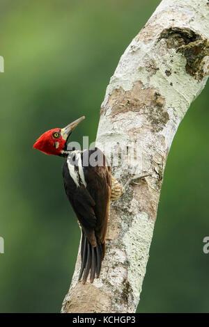 Carpintero crestado carmesí (Campephilus melanoleucos) posado en una rama en el Parque Nacional Manu, Perú.