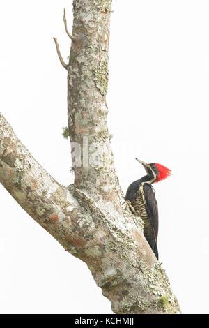 Carpintero crestado carmesí (Campephilus melanoleucos) posado en una rama en las montañas de Colombia, Sur America