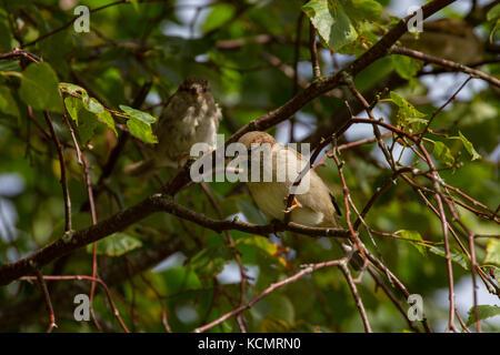 Gorrión. Passer domesticus. Dos adultos en Birch Tree. Powys. Gales