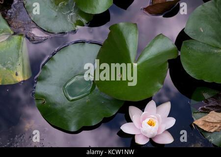 Un alto ángulo de vista de flor de loto blanco cerca de nenúfares en un estanque después de la lluvia del verano Foto de stock