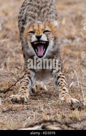 Cachorro de guepardo (Acinonyx jubatus), el Masai Mara, Kenya Foto de stock
