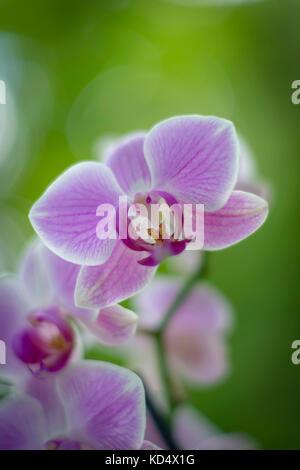 Rosa orquídea florece