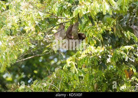 Perezoso de tres dedos colgando de un árbol, Costa Rica